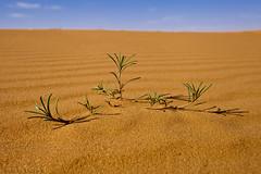 Desert plant (TARIQ-M) Tags: plant abstract tree art texture sahara landscape sand waves pattern desert ripple patterns dunes wave abstraction ripples riyadh saudiarabia بر الصحراء canoneos5d الرياض صحراء goldensand رمال رمل طعس كانون المملكةالعربيةالسعودية الرمل خطوط تجريد صحاري ef1635mmf28liiusm canoneos5dmarkii نفود الرمال كثبان براري تموجات تموج الرمالالذهبية نفد اربيسك