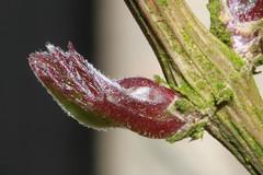 Voorjaar van dichtbij (7-8): Clematis knop (Renk Knol) Tags: clematis 2012 warande driebergen