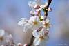 HBA_1906 (Haibin Sun) Tags: cherry washington sakura universityofwashington nikon105mm protraiture nikond200