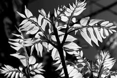 20120404-_4041560 (Kama@jg6jav) Tags: leaf leav feuillage feulles