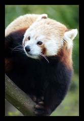 Red or Lesser Panda (Annette Rumbelow) Tags: park camera gardens panda sony annette rumbelow a550 cotswoldwildlife redlesser