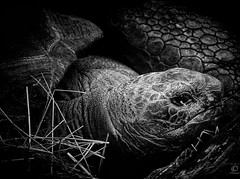 Giant Turtle (Explored) (chmeermann) Tags: portrait bw animal giant zoo blackwhite nikon turtle tortoise portrt sw nikkor tierpark schwarzweiss duisburg tier schildkrte riesenschildkrte 18135 d80