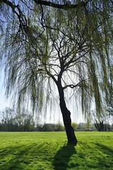 Willow tree (Steven H Scott) Tags: tree silhouette nikon quay willow beccles 18200vr stevenscott thebestofday gnneniyisi d7000 nikonflickraward mygearandme
