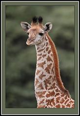 School photographs! (Rainbirder) Tags: kenya giraffacamelopardalistippelskirchi lakenaivasha masaigiraffe crescentisland rainbirder
