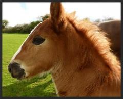 du soleil dans la crinière (Marie Jestin) Tags: horse france nature cheval brittany mare bretagne naissance breton finistère foal poulain trait blinkagain