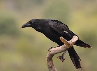 Corvo / Common Raven