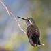 495 -BLUE-THROATED HUMMINGBIRD (4-26-13) south fork, cave creek, cochise co, az  (1)