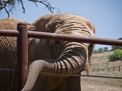 PAWS06 (swirly) Tags: california bear elephant animals tiger elephants paws sanctuary animalsanctuary sanandreas performinganimalwelfaresociety