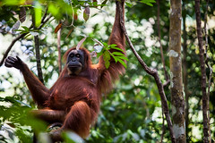 Ratna 4785 (Ursula in Aus (Resting - Away)) Tags: animal sumatra indonesia unesco orangutan ape greatape bukitlawang ratna gunungleusernationalpark earthasia