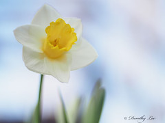 Daffodil On A Cool Spring Day (dorothylee) Tags: flowers flower color colour nature floral garden botanical photography photo spring cool colorful photograph daffodil colourful daffodils springtime dorothyleephotography