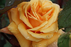 and rose again.. (Lyubov) Tags: flower nature rose 2016 fantasticflower