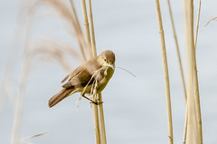 Reed Warbler(acrocephalus scirpaceus) (phat5toe) Tags: nature water birds reeds nikon wildlife feathers avian wigan flashes reedwarbler greenheart acrocephalusscirpaceus d7000 sigma150500