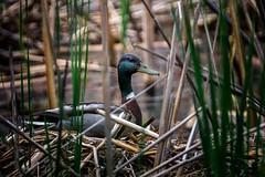 Drake Break (Explored) (Portraying Life) Tags: duck pond unitedstates nest michigan mallard nesting hubbard