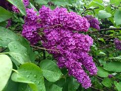 Spring lilacs (krys.mcmeekin) Tags: garden blooms purple flowers
