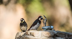 Thirsty woodpeckers (Photosuze) Tags: cute nature birds animals couple wildlife pair drinking aves faucet woodpeckers drinkingfountain thirsty melanerpesformicivorus avians acornwoodpeckers