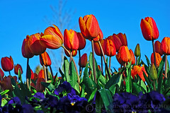 Glowing Tulips against Blue Sky by Kaye Menner (Kaye Menner) Tags: flowers blue red sky orange green floral beauty yellow garden botanical photography spring flora purple tulips bluesky tulip violets springflowers tulipa orangeblue annuals blueorange liliaceae springgarden tulipgarden orangeflowers floralart orangetulips orangeflora orangefloral tulipart orangeyellowtulips variegatedtulips kayemennerphotography kayemennerfloral kayemenner glowingtulips tulipwallart glowingtulipsagainstbluesky