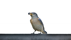 Bluebird (Pat Durkin OC) Tags: westernbluebird sialiamexicana