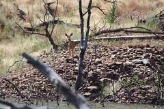 Mule Deer on Lookout