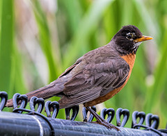 """Brexit"" the Robin - On The Fence (edmason88) Tags: brexit robin onthefence undecided future tamron150600 strathconacounty alberta"