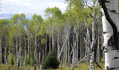 2016 05 19 Grand Teton national Park 40b (omigosz) Tags: tree wyoming grandtetonnationalpark