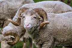 Merino Rams, Moke Lake Loop, Queenstown (flyingkiwigirl) Tags: lake station walking track ben loop peak merino queenstown ram campground doc lomond range wakatipu moke bobs
