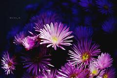 lightly (zuiko94) Tags: light flower love nature nikon natura daisy l nikkor natgeo flowerporn nikkorlens nikond3200 nikonian d3200 nikonlove nikonlandscape nikonphotography nikonitalia nikonpic nikonitaly nikoneurope nikonofficial nikontop nikonature