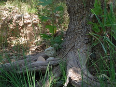 My favorite Sycamore tree 2 (EllenJo) Tags: arizona river pentax tube raft verderiver riparian sundayafternoon june5 clarkdale 2016 ellenjo summerinarizona ellenjoroberts tuzigootbridge tuzirap pentaxqs1 cruisingdowntheriveronasundayafternoon