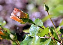 January 13th (Rob Goldstein-Working) Tags: sanfrancisco california flowers summer sun flower color art rose digital canon raw foto best buds digitalpaint awesom lblogger artbyrobgoldstein