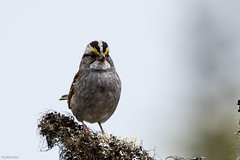 White-throated Sparrow, Murphy's Pond, Goulds (frank.king2014) Tags: ca canada whitethroatedsparrow baybulls newfoundlandandlabrador