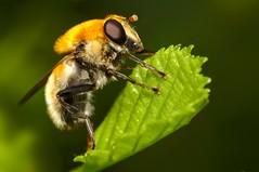 Kleine woudzwever (andabata) Tags: criorhinaberberina hoverfly zweefvlieg kleinewoudzwever woudzwever fly vlieg
