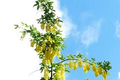 Gullregn (evisdotter) Tags: flowers summer sky colors blommor laburnum gullregn goldenchain sooc