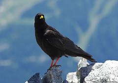 Gracchio Alpino (Gianpaolo Bottin) Tags: italy bird wildlife chamonix montebianco valdaosta gracchioalpino