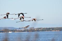 DSC_6075 (Ferraris Clemente) Tags: sardegna uccelli pinkflamingo cannigione fenicotteri stagno costasmeralda fenicotterirosa lapunga