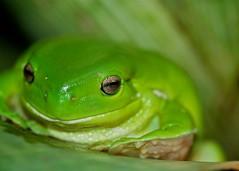 The green tree frog (Deb Jones1) Tags: macro green nature beauty fauna canon garden outdoors frog flickrduel debjones1