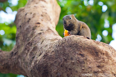 It's Me Again, Taipei (yameme) Tags: macro nature animal squirrel taiwan taipei         callosciuruserythraeus 5dmarkii