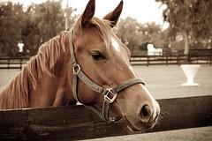 Sanctuary (skippys1229) Tags: horse florida sanctuary 2012 marioncounty horsefarm hss canonef24105mmf4lisusm marioncountyflorida ushwy27 horsephotography canonrebelt1i sliderssunday northwestmarioncounty