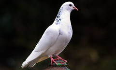 Una paloma blanca (The Old Brit) Tags: bird nature birds peace dove wildlife ornithology columbidae whitedove unapalomablanca