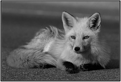 Red Fox in Monochrome (Mark Schwall) Tags: blackandwhite monochrome mammal newjersey nj fox oceancounty redfox islandbeachstatepark