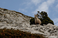 Le Guetteur (Patman69) Tags: nature alpes vercors patman grandveymont