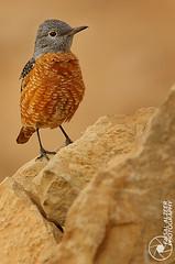 ||    (Faisal Alzeer) Tags: bird birds photography nikon faisal     nikkor300mm           alzeer abonasser