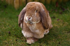 Tilly Faces - Fur Coat (Bucky O'Hare) Tags: orange pet pets rabbit bunny bunnies animal animals canon giant french eos wildlife fawn rabbits dslr tilly lop frenchlop 50d