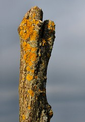 Life after Death (nondesigner59) Tags: nature yellow moss bokeh recycling lichens treestump eos50d nondesigner nd59 copyrightmmee