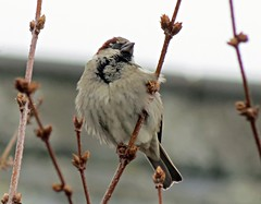 House Sparrow - Passer domesticus (Rob Felton) Tags: bird bedford bedfordshire perch felton housesparrow passerdomesticus greatbarford robertfelton
