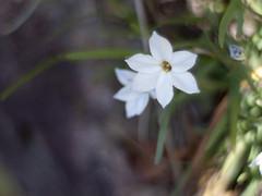 Spring star (Polotaro) Tags: flower nature pen olympus   zuiko ep1     gzuiko50mmf14
