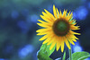 Happy day [ EXPLORED ] (-clicking-) Tags: flower macro floral beautiful yellow garden petals spring flora blossom bokeh ngc stamens vietnam sunflower bloom lovely springtime blooming springgarden pistils hoahướngdương bôngmặttrời blinkagain bestofblinkwinners vietnameseflowers