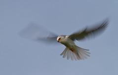 White-tailed Kite (Davor Desancic) Tags: park kite bird canon 7d 400mm whitetailedkite garin ebparksok