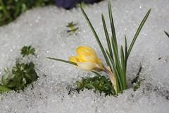 Spring is here! (Cobra_11) Tags: schnee sun snow flower macro primavera sol closeup canon spring nieve flor sunny crocus sunlit blume makro sonnig sonne canoneos ef50mmf18ii kar krokus frhling bahar iek gne azafran frhjahr soleado idem gneli ef50mm118ii canoneos450d digitalrebelxsi