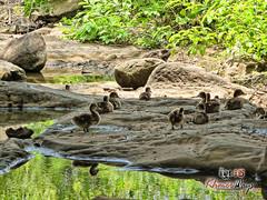 Ducks - Khmer Cruiser.jpg