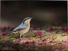 Eurasian Nuthatch 茶腹鳾聚光燈下擺Pose~ (jjcat) Tags: birds canon taiwan 300mm 7d f28 eurasiannuthatch 茶腹鳲