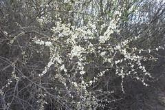 Die Schlehen blhen in dichten Hecken (Flora von Dbrichau) Tags: prunus spinosa schlehe dbrichau